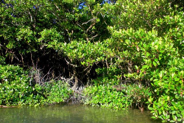 【沖縄本島北部・エコツアー】海と山をつなぐマングローブ林を、じっくり観察!