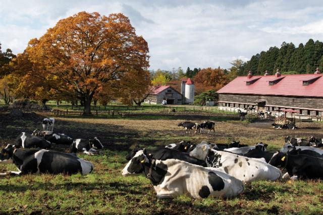 【岩手・牛舎散策】日本の酪農振興の原点へ!小岩井農場・ファームセラピー