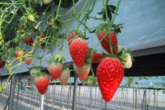 【福島・いわき・イチゴ狩り】太陽の恵みをいただきます!完熟イチゴをほおばろう
