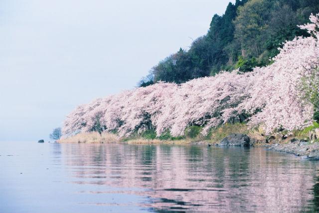 【滋賀・琵琶湖・クルージング】日本のさくら100選!花見船から海津大崎の桜を眺めよう