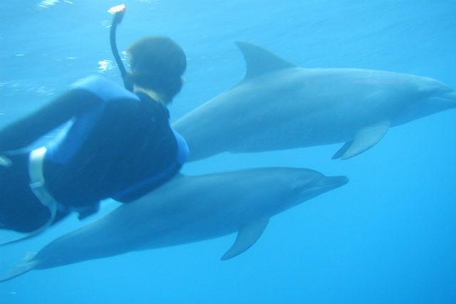 【東京発・ダイビング・シュノーケリング】イルカと遊ぼう!ドルフィンスイム&ダイブ