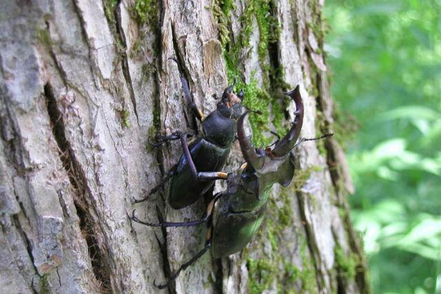 【北海道・富良野・昆虫観察】7~8月限定!夜の富良野の森でクワガタ&昆虫観察ツアー