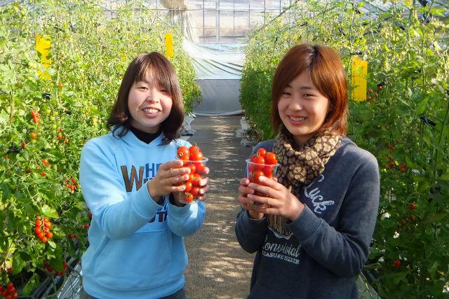 【岐阜・中津川市・トマト狩り】ミニトマト収穫体験!5種類のトマトを食べ比べ(お持ち帰り付)