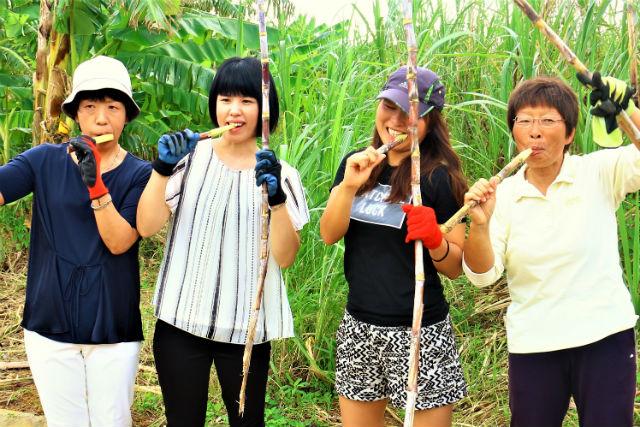 【沖縄・宮古島・農業体験】サトウキビの収穫体験!黒糖づくり&島Bananaスイーツ作り付き