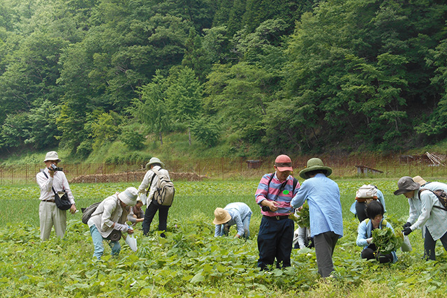 水源の里・市志・ 山菜(やまぶき)収穫体験