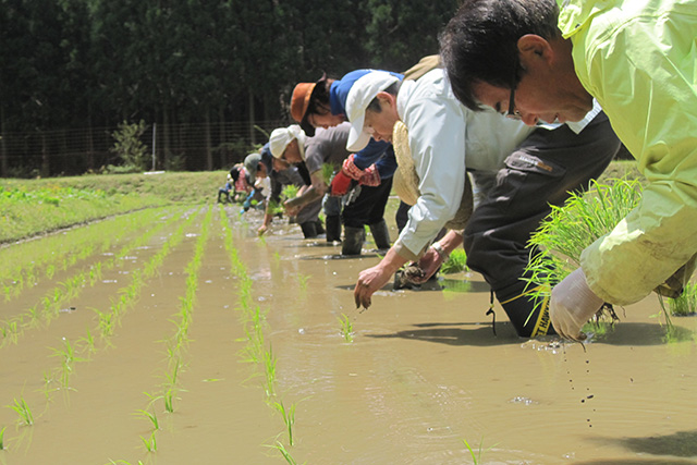 水源の里・市志で「稲木干し米を作ろう」( 田植え・山フキ収穫体験)