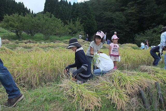 毛原の棚田の稲刈り体験