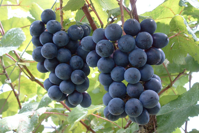 ぶどうの収穫体験!お好きな果実のジェラート2種付き