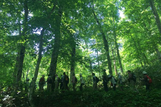 【北海道・ガイドツアー】天然記念物の歌才ブナ林へ!四季のブナ林ガイドウォーク