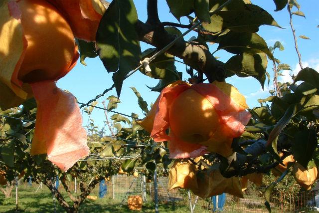 梨の収穫体験!お好きな果実のジェラート2種付き