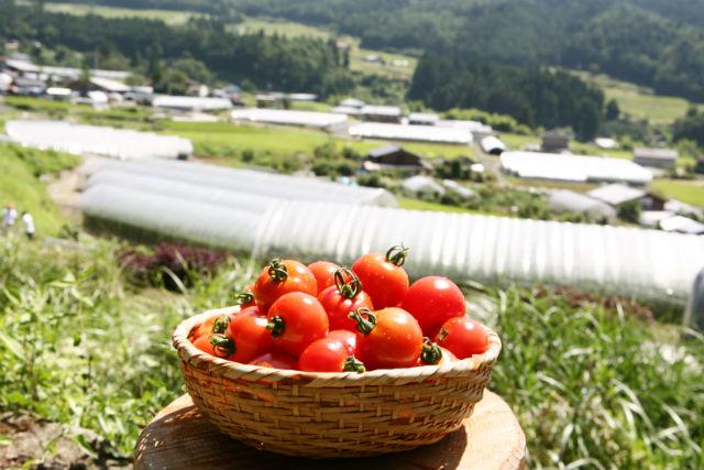 【岐阜・下呂市・トマト狩り】濃厚な味を楽しめる!フルーツトマト狩り(1kg)
