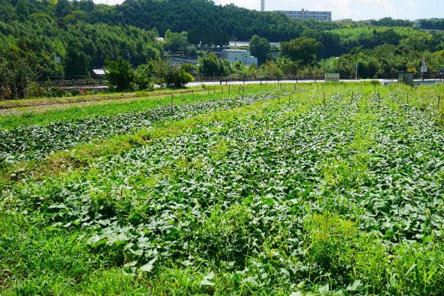 【大阪・河内長野市】さつまいも・収穫体験(5株持ち帰り・30分)