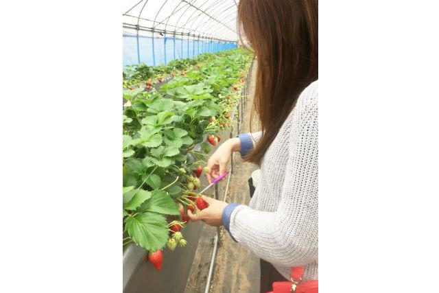 【京都・いちご狩り】完全予約制!試食3個&お土産付きのイチゴ摘み体験