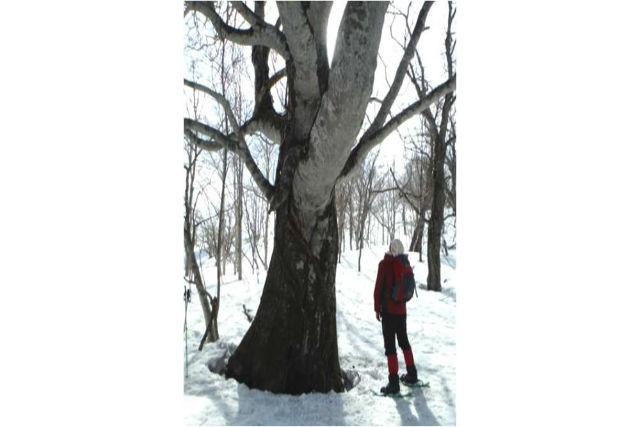 【北海道・スノーシュー】その大きさに圧倒!巨木ウォッチング体験