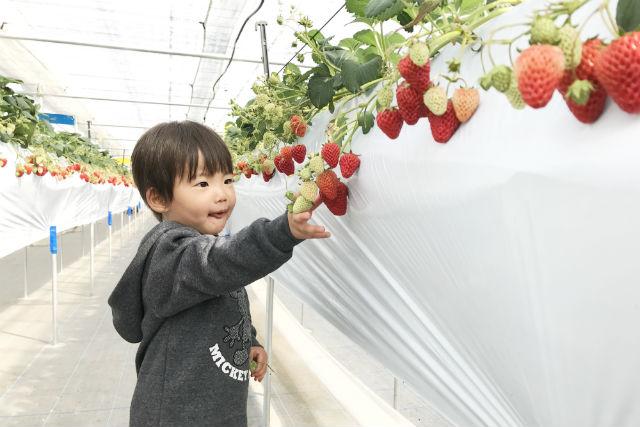 【長野・軽井沢・イチゴ狩り】紅ほっぺ食べ放題!ジャム等お土産付き
