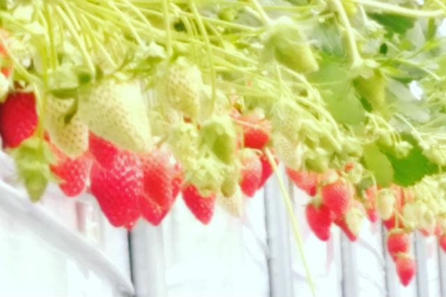 【山梨・甲州・イチゴ狩り】8種類食べ比べ!時間無制限・食べ放題のイチゴ狩り