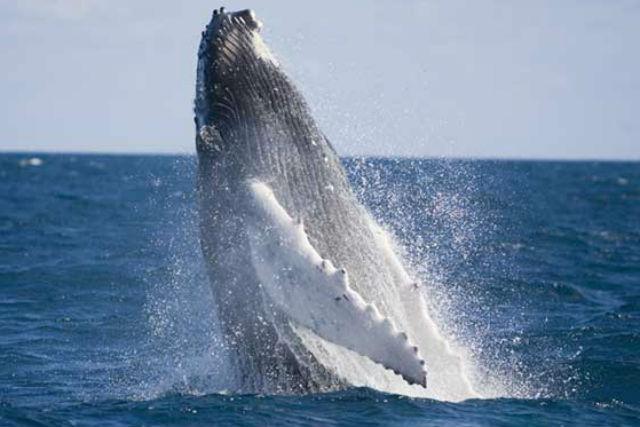 【沖縄・北部・ホエールウォッチング】人気スポットも楽しめる!美ら海水族館チケット付きホエールウォッチングプラン