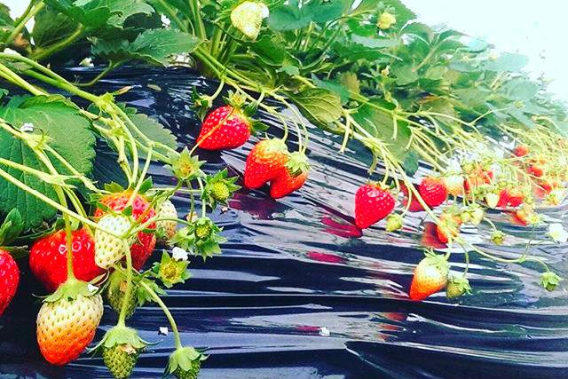 【茨城・つくば市・いちご狩り】超新鮮!摘みたてのイチゴが食べ放題!(40分)