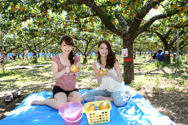 【福井・あわら市・梨狩り】完熟梨の甘さを堪能!手ぶらで梨食べ放題1時間