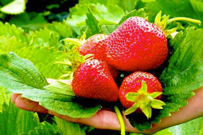 イチゴの画像 p1_35