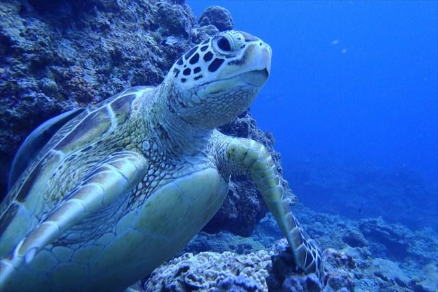 【沖縄・慶良間諸島・シュノーケリング】国立公園の慶良間諸島で、ウミガメに会いに行こう