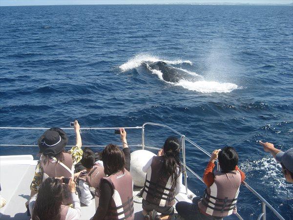 【那覇・ホエールウォッチング】遭遇率は98%!迫力のザトウクジラウォッチング