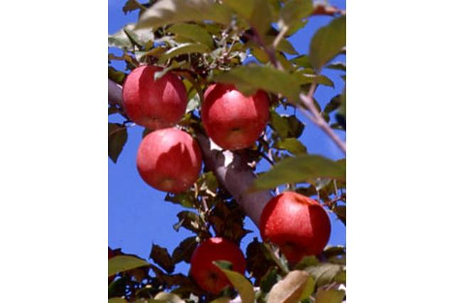 【群馬・りんご狩り】果実の魅力を味わいつくそう!観光フルーツ農園でりんご狩り!(8月下旬~12月上旬)