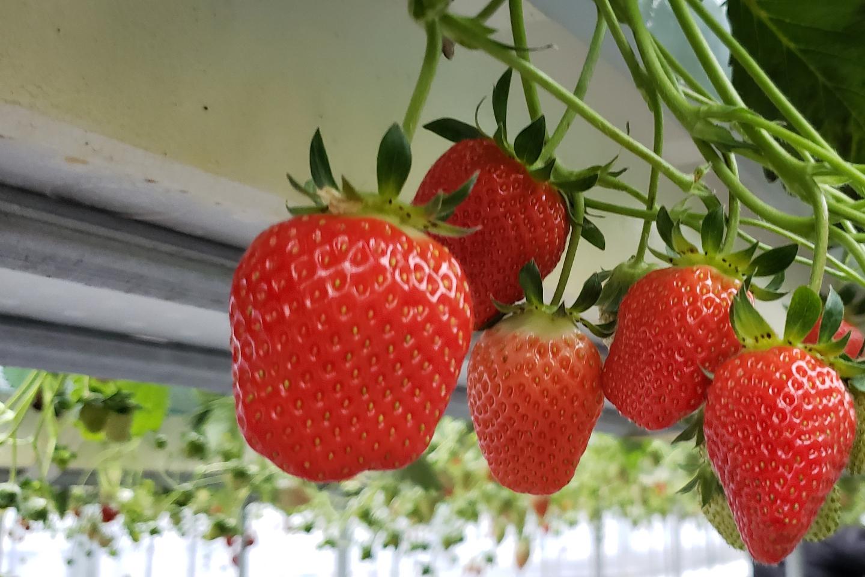 【群馬・イチゴ狩り】採れたてイチゴが食べ放題!12月から6月まで楽しめます