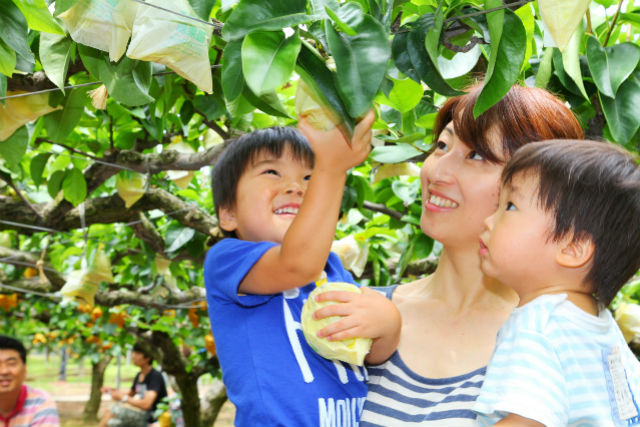 【鳥取砂丘・梨狩り】新甘泉(鳥取県のみの高糖度品種)の梨狩り&ランチプラン