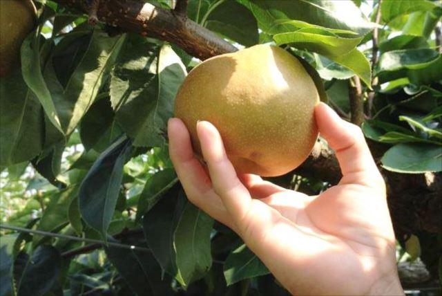 【広島・梨狩り】果汁があふれる!世羅高原の広大な農園で思いっきり梨狩りしよう