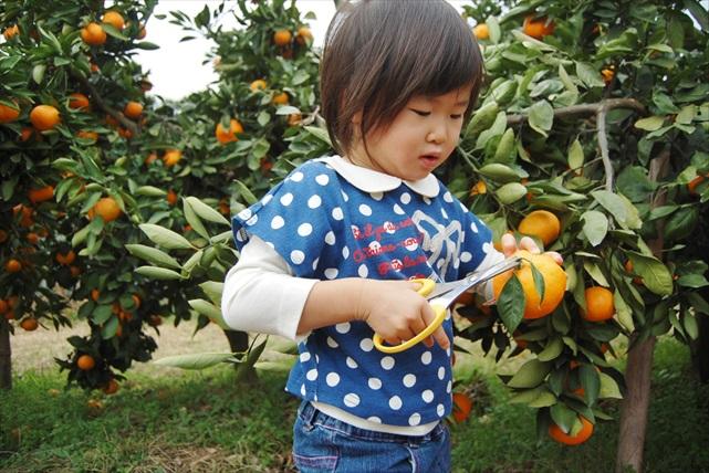 【佐賀県佐賀市・みかん狩り】甘酸っぱい果実と清涼な香りを楽しめるみかん狩り!