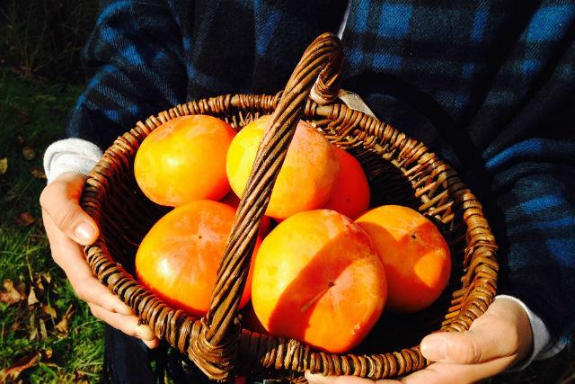 【福岡県・柿狩り】採った柿1キロ分をお持ち帰り!筑後の里で柿狩りプラン