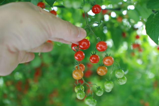 【大分県玖珠郡・トマト狩り】新鮮なトマトを採りに行こう!赤くて甘い、美味しい体験