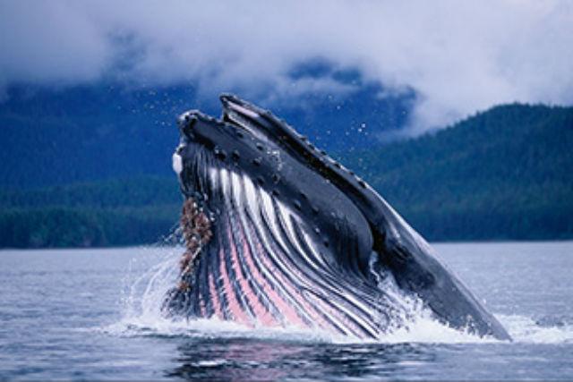 【北谷発・ホエールウォッチング】ケラマのザトウクジラに会おう!遭遇率99%・全額返金保証付き