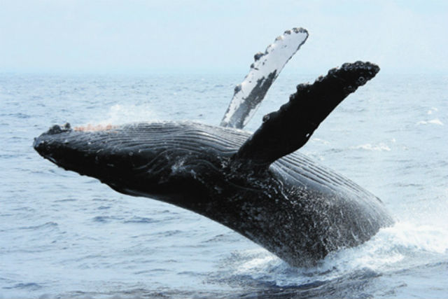 【那覇発・ホエールウォッチング】楽園ケラマで野生のクジラに接近!遭遇率99%・全額返金保証