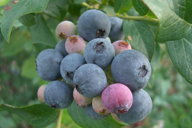 【千葉・フルーツ狩り】30種のブルーベリーを時間無制限で食べ放題!至福のブルーベリー狩りプラン