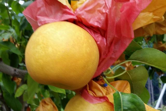 【和歌山・梨狩り】時間制限なしの食べ放題!みずみずしい甘さの梨(幸水・豊水)を食べ尽くそう