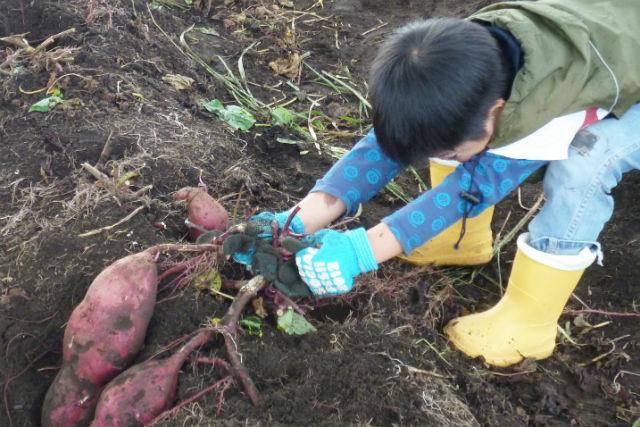 【千葉・館山・農業体験】家族で楽しむ秋の食育タイム!海辺の農園で芋ほりを体験しよう!