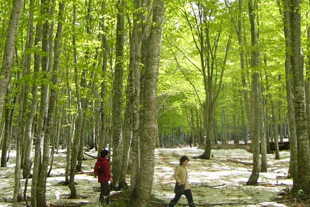 【秋田・トレッキング・半日】四季が彩るブナ林で、癒やしの時間を。乳頭山・森林浴ツアー