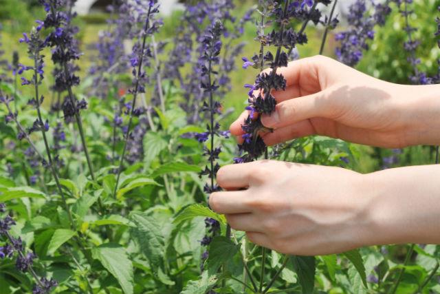 【京都・農業体験】楽しいお花摘み!ハーブ摘み体験