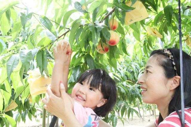 【岡山・桃狩り】岡山最大級の農園で、桃の収穫体験!(2個持ち帰り・試食付き)