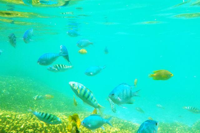【鹿児島・与論島・シュノーケリング】寄り添う百年サンゴ!与論島シュノーケリング