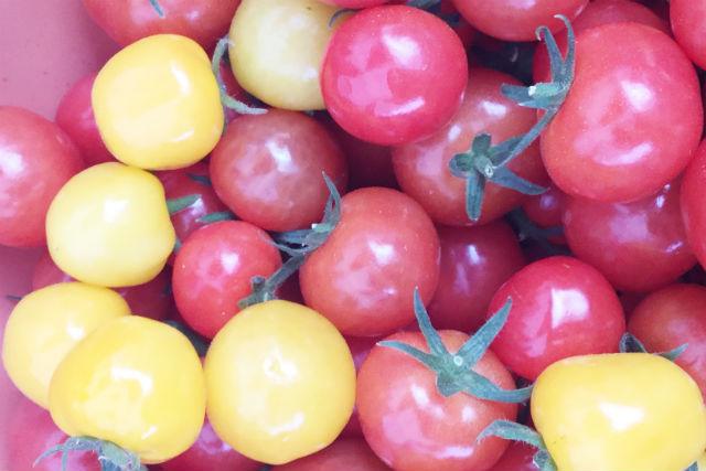 【三重・桑名・トマト狩り】1パックのお土産付き!トマト食べ放題プラン