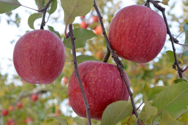【福島・りんご狩り】完熟りんごのりんご狩り(30分食べ放題)