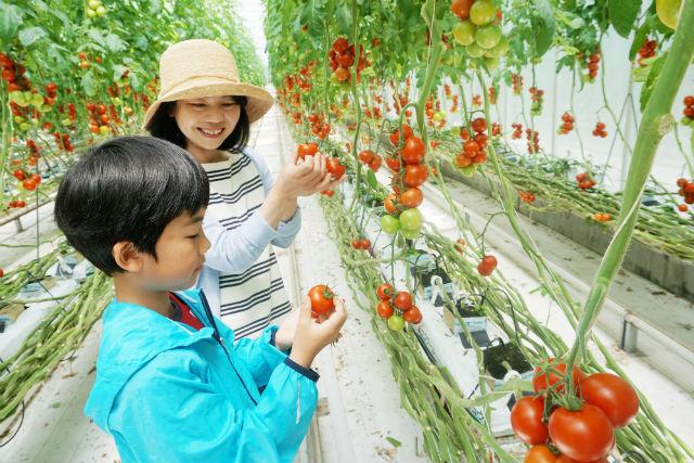 【福島・いわき・トマト狩り】甘くて新鮮!トマトのテーマパークでトマト狩り