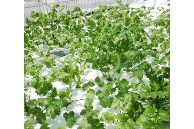 【島根・農業体験】生産者自らご案内!新鮮パクチー&クレソン収穫体験