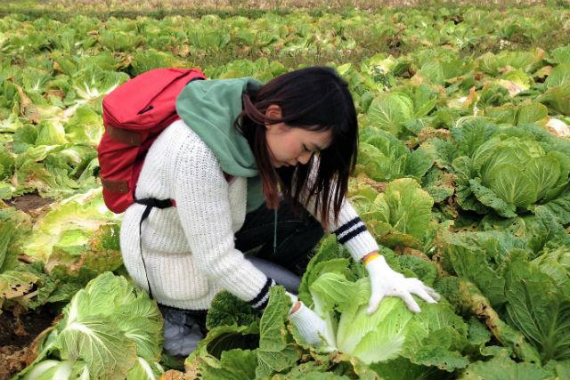 【北海道・岩見沢・農業体験】地元の名人による漬け物プレゼント付き!白菜収穫体験