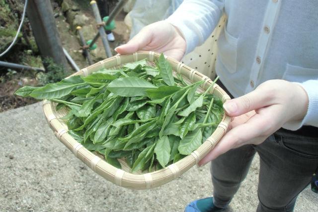 【2.5%還元】【佐賀・嬉野・茶摘み】期間限定!大自然の中で茶葉の香りと感触が楽しめる茶摘み体験【2名から予約可能】