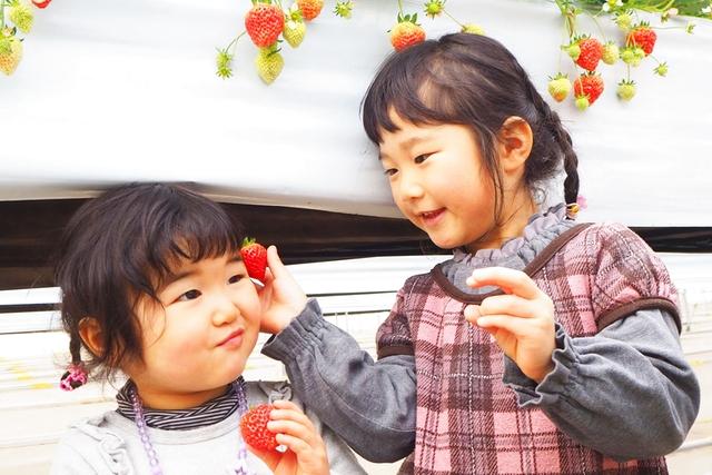【新潟・村上・いちご狩り】新潟のいちご「越後姫」が30分間食べ放題!いちご狩り