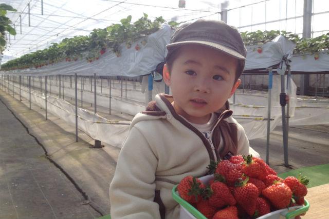 【新潟・村上・いちご狩り】お米2kgのお土産付き!いちごの摘み取り体験300g